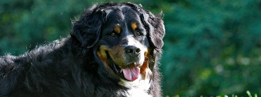 Berner Sennenhunde vom Feldbachtal